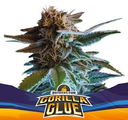 SensorySeeds Autoflowering Gorilla Glue Plant