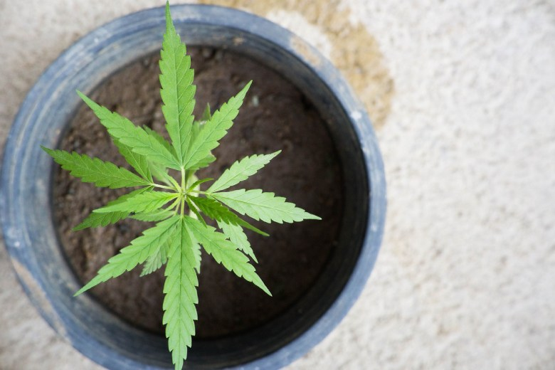 outdoor culture of cannabis seeds