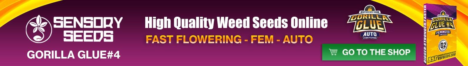 Banner Sensoryseeds Gorilla Glue cannabis seeds