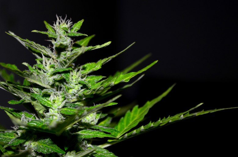 gorilla glue auto cannabis seeds