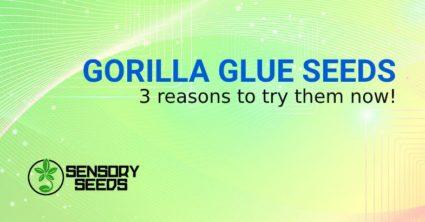 GORILLA GLUE WEED SEEDS
