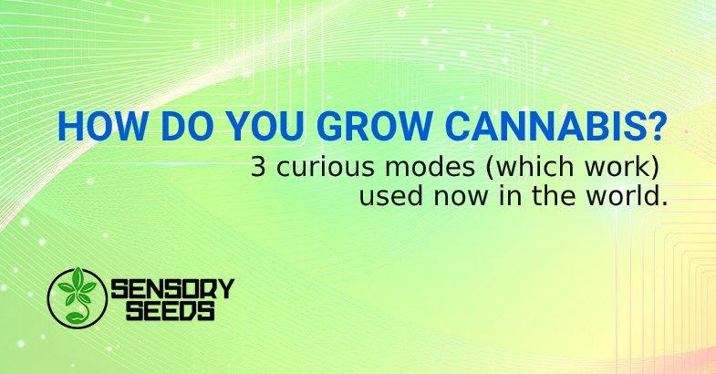 GROW CANNABIS from feminized seeds