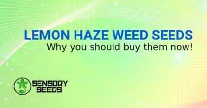 LEMON HAZE WEED SEEDS