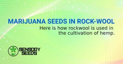 WEED SEEDS IN ROCK WOOL